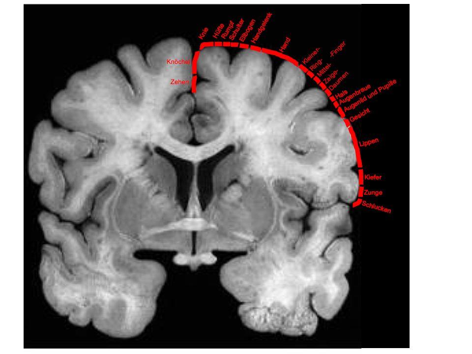 Sprache und Gehirn | Funktionen bestimmter Nervenkerngruppen
